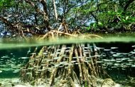 Rotary Club mitigates oil & gas pollution with 50,000 mangrove trees